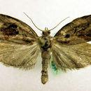 Image of <i>Archips crataegana</i> Hübner 1800