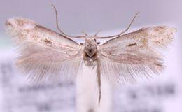 Image of <i>Elachista scirpi</i> Stainton