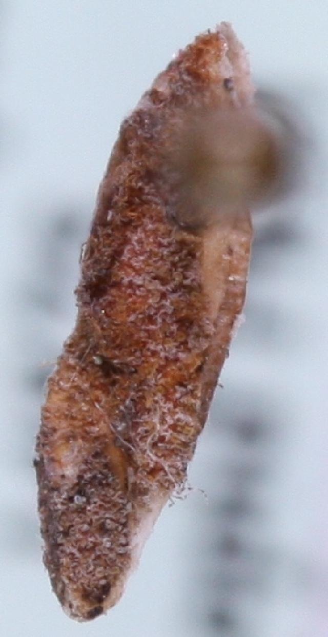 Image of <i>Coleophora obscuripalpella</i> Kanerva 1941