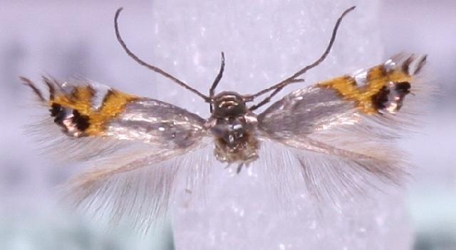 Image of <i>Leucoptera lustratella</i> Herrich-Schäffer 1855