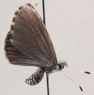 Image of Scolitantides