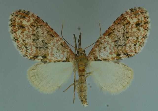 539.lepde mnvd 11446 c02 lobidiopteryx stulta 1300791458 jpg