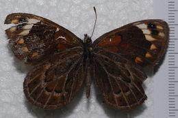 Image of Torynesis