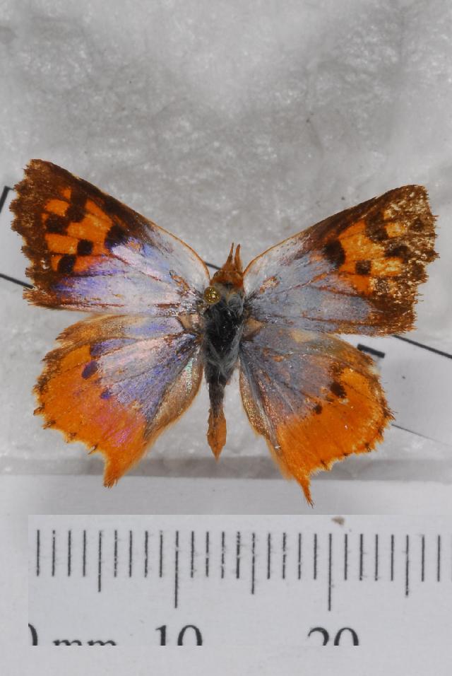 Image of Chrysoritis
