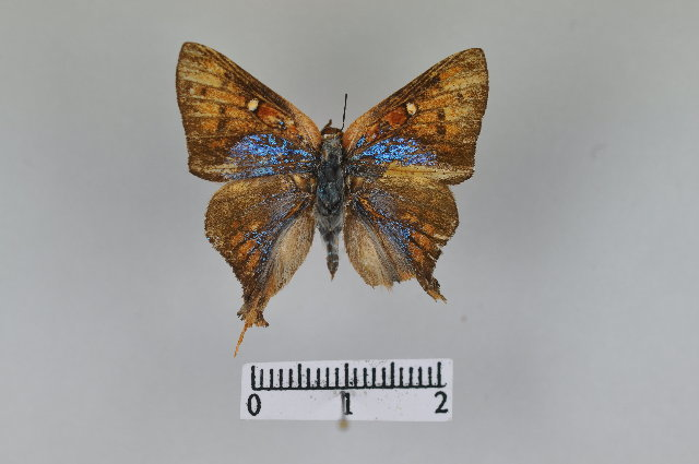Image of Aphnaeus