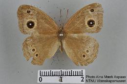 Image of Henotesia