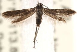 Image of <i>Schreckensteinia felicella</i> Walsingham 1880
