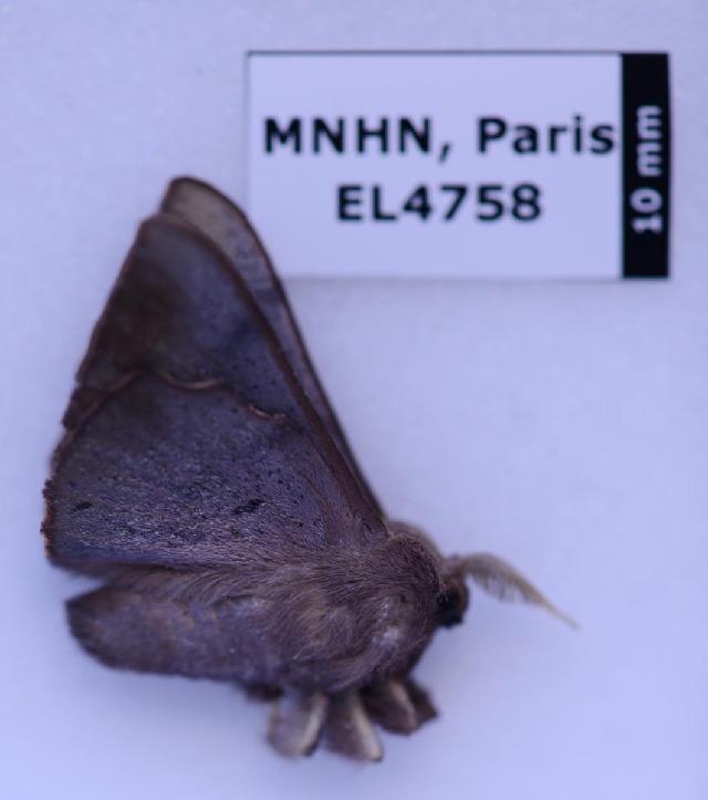 Image of Trogoptera