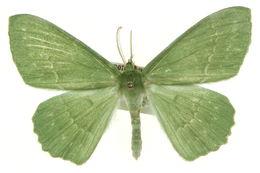 Image of <i>Geometra rana</i> Oberthür 1916