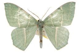 Image of <i>Geometra glaucaria</i> Ménétriès 1859