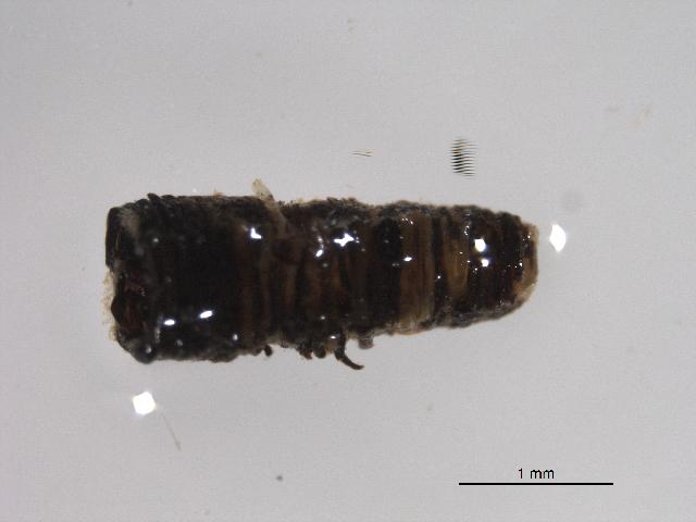 Image of Mononchidae