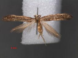 Image of Scaeosophinae