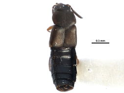 Image of <i>Placusa tacomae</i> Casey 1893