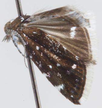 Image of <i>Prochoreutis myllerana</i> Fabricius 1794
