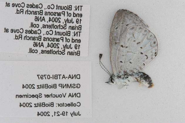 Image of <i>Celastrina neglecta</i>