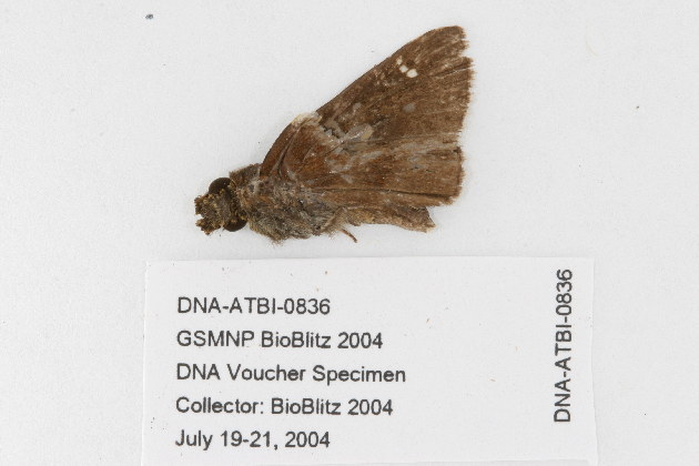 Image of Clouded Skipper