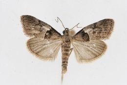 Image of <i>Pococera scortealis</i> Lederer 1863