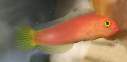 Image of undescribed pink dottyback