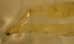 Image of Pseudomyrophis