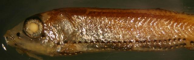 Image of Lightfish