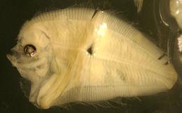 Image of Speckledtail Flounder