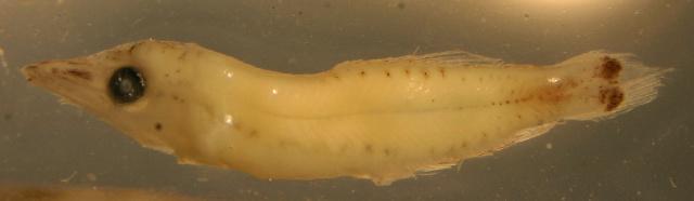 Image of Nannobrachium