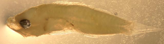 Image of Dwarf sea bass