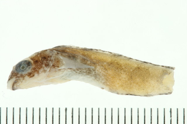 Image of Variable Blenny