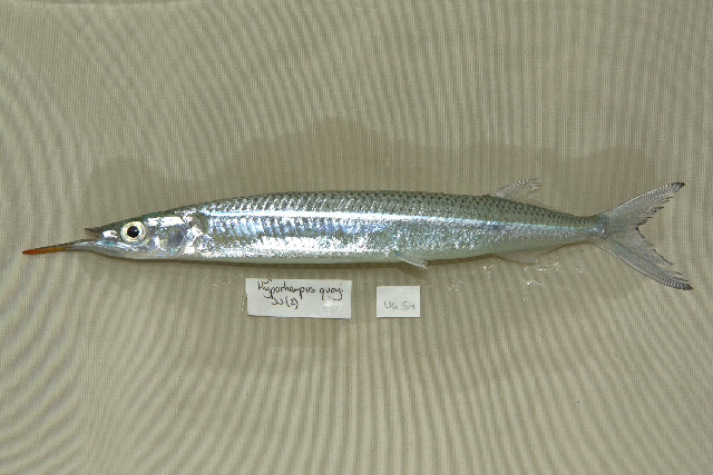 Image of Garfish