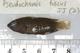Image of Brown dottyback