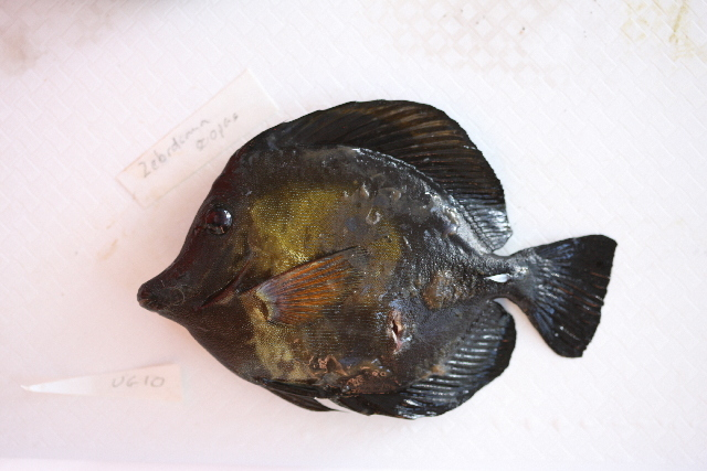 Image of Blue-lined Tang