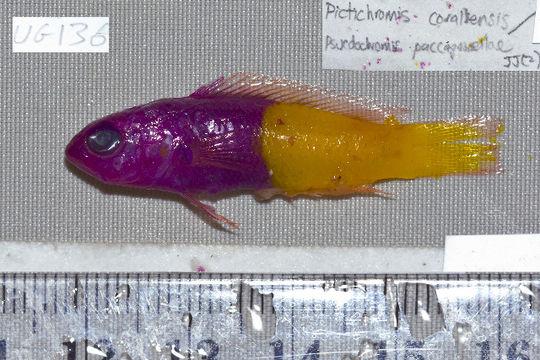 Image of Bicolor cichlops