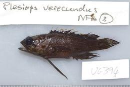 Image of Redtip longfin