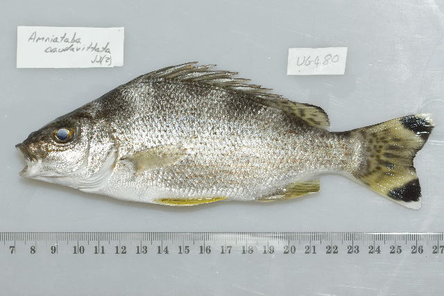 Image of Yellowtail trumpeter
