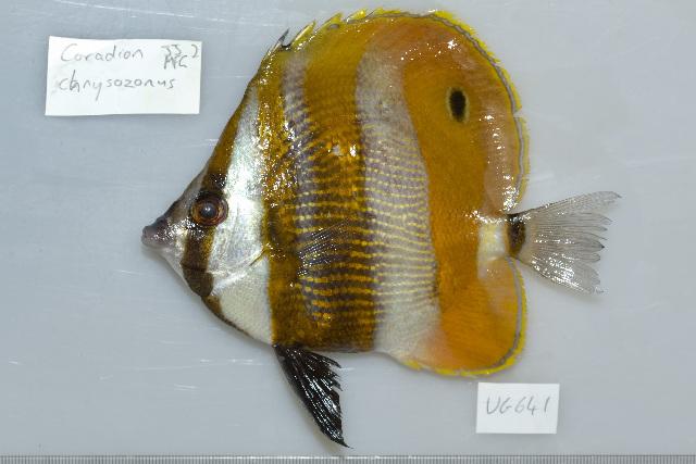 Image of Orangebanded coralfish