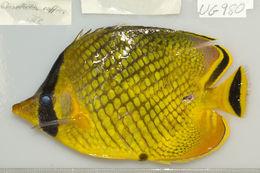 Image of Latticed Butterflyfish