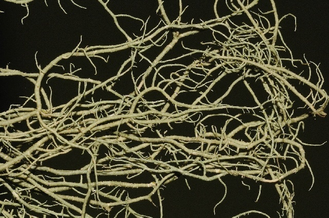 Image of <i>Usnea intermedia</i> (A. Massal.) Jatta