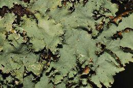 Image of parmotrema lichen