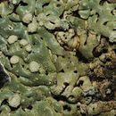 Image of honeycombed lichen
