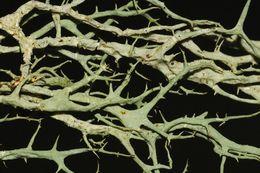 Image of Mountain Oakmoss Lichen
