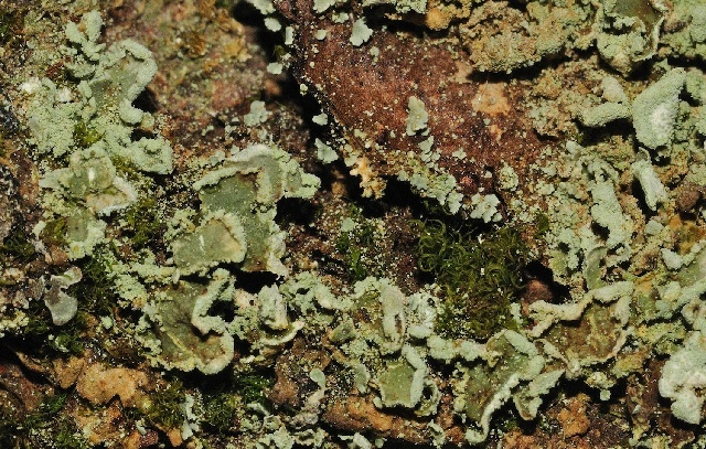 Image of finger cup lichen