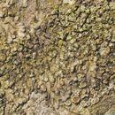 Image of hyperphyscia lichen
