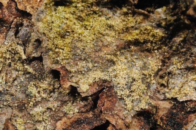 Image of <i>Lecidella albida</i> Hafellner