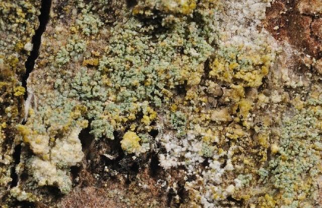 Image of <i>Megalaria pulverea</i> (Borrer) Hafellner & E. Schreiner