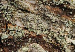 Image of <i>Loxospora elatina</i> (Ach.) A. Massal.