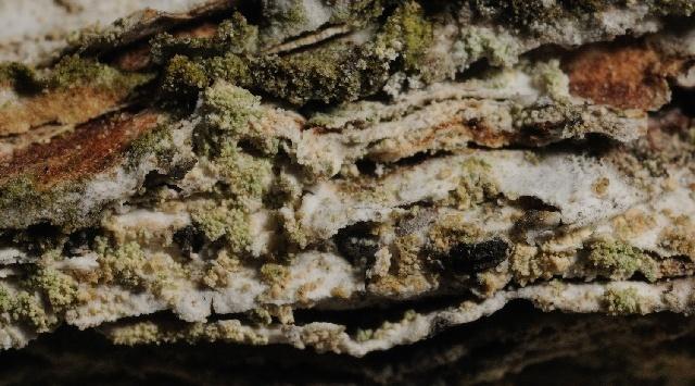 Image of <i>Pycnora sorophora</i> (Vain.) Hafellner