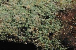 Image of <i>Lepraria elobata</i> Tønsberg