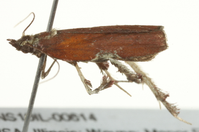 Image of Boxwood Leaftier