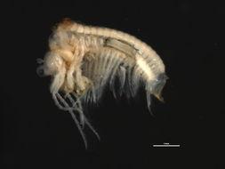 Image of Caenestheriella