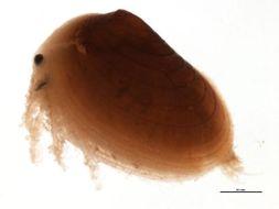 Image of Cyzicidae